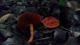 Cortinarius hesleri image