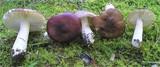 Russula versicolor image