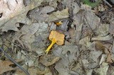 Cantharellus ignicolor image