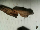 Tylopilus griseocarneus image