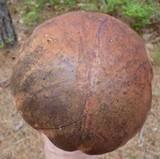 Boletus oliveisporus image