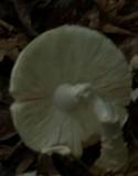 Amanita ravenelii image