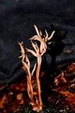 Clavulina castaneipes image