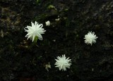 Amparoina spinosissima image