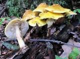 Amanita flavorubens image