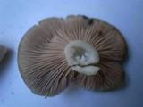 Entoloma rhodopolium image