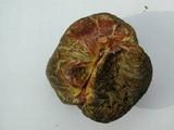 Gastroboletus turbinatus image