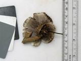 Phellodon melaleucus image