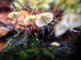 Marasmius exustoides image
