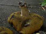 Leccinum subglabripes image