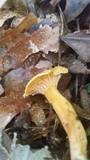Cantharellus persicinus image
