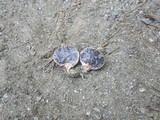 Scleroderma meridionale image