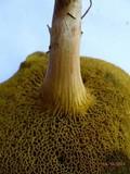 Boletus subfraternus image