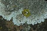 Physcia phaea image