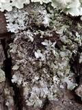 Image of Hypotrachyna endochlora