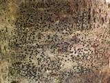 Arthonia spadicea image