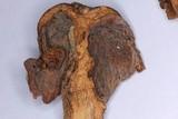 Tricholosporum longicystidiosum image