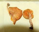 Gymnopilus subpurpuratus image