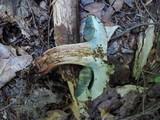 Boletus vermiculosoides image