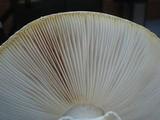 Amanita cokeri image