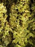 Pseudocyphellaria aurata image