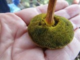 Boletellus pseudochrysenteroides image