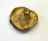 Lactarius leonis image