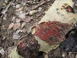 Peniophora rufa image