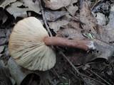 Lactarius quietus var. incanus image