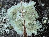 Lecanora symmicta image