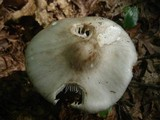 Amanita submaculata image
