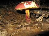 Boletochaete bicolor image