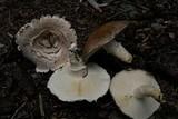 Floccularia fusca image