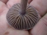 Cortinarius evernius image