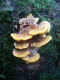 Pycnoporellus fulgens image