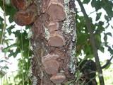 Phellinus pomaceoides image