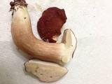 Xanthoconium purpureum image