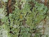Image of Bulbothrix goebelii