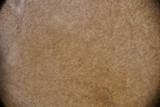 Ophiocordyceps variabilis image