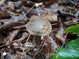 Retiboletus griseus image