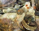 Image of Marasmius ferruginoides