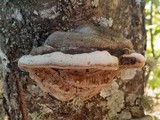 Phellinus pomaceus image