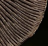 Panaeolus antillarum image