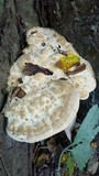 Perenniporia robiniophila image