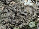 Dermatocarpon miniatum image