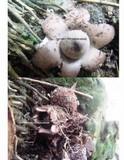 Geastrum coronatum image