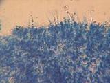 Phlebia subulata image