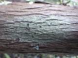 Image of Rinodina oleae