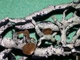 Hypogymnia inactiva image