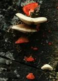 Crepidotus cinnabarinus image